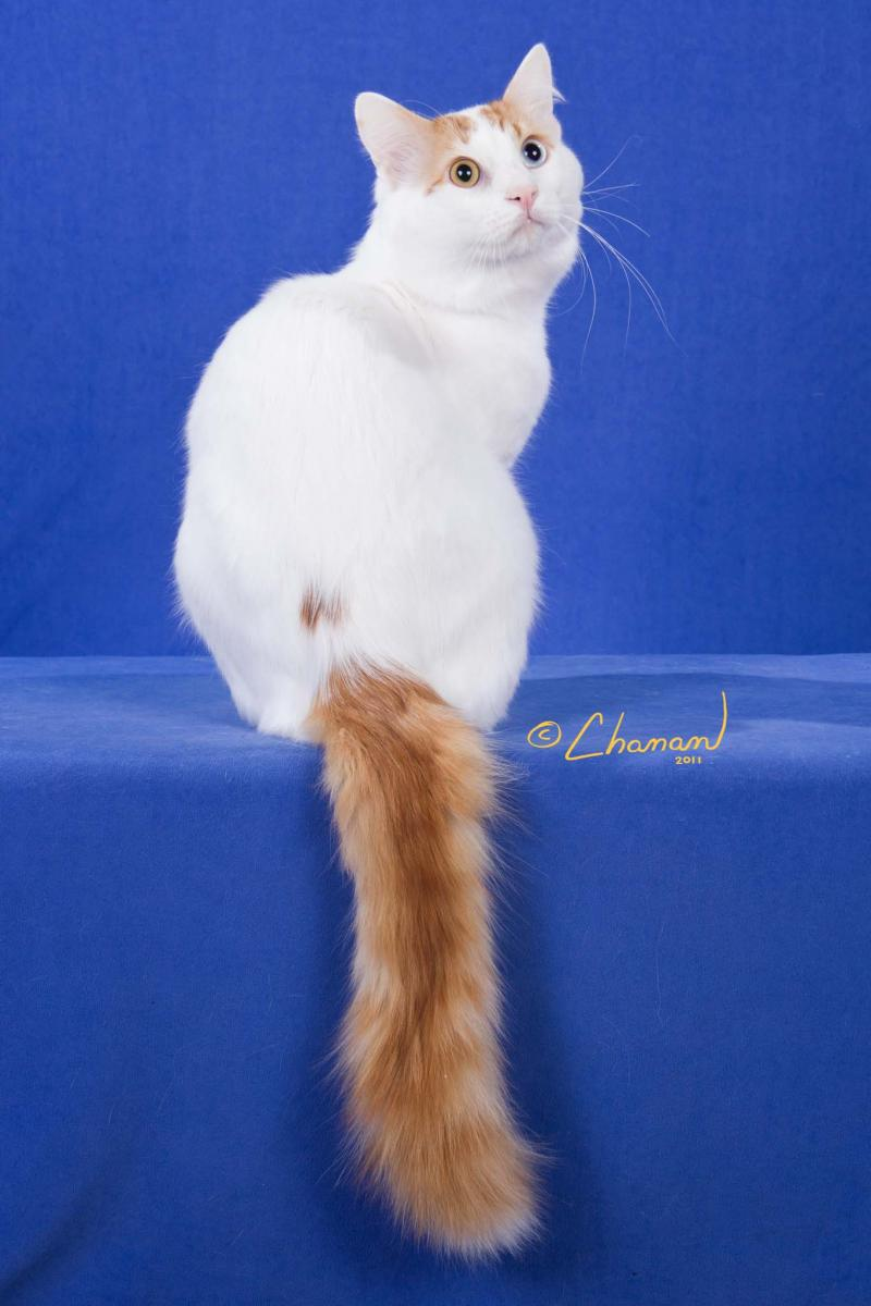 6ff4b5128a Turkish Van cats can be blue and white(above)